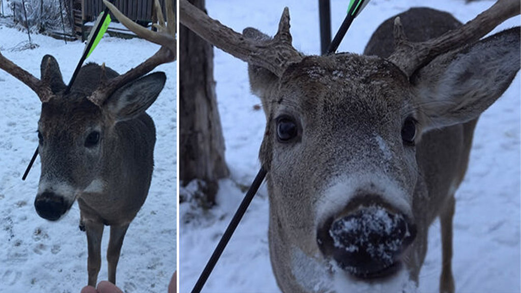 Carrot the magic deer receives an arrow in the head in Canada: the inhabitants fight to save it