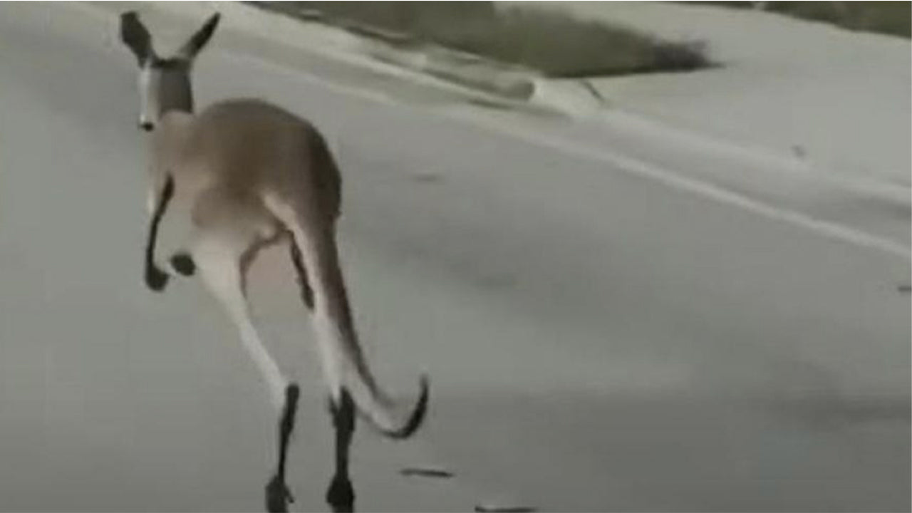 A kangaroo that had failed its owner wreaked havoc on the streets of Fort Lauderdale, Florida, before being apprehended by hilarious police officers.