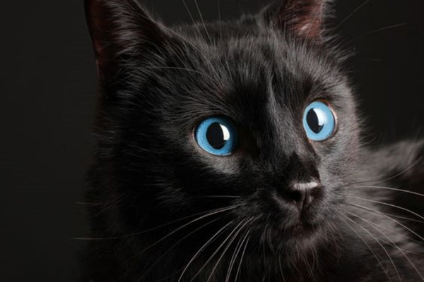Ojos Azules Black Cat