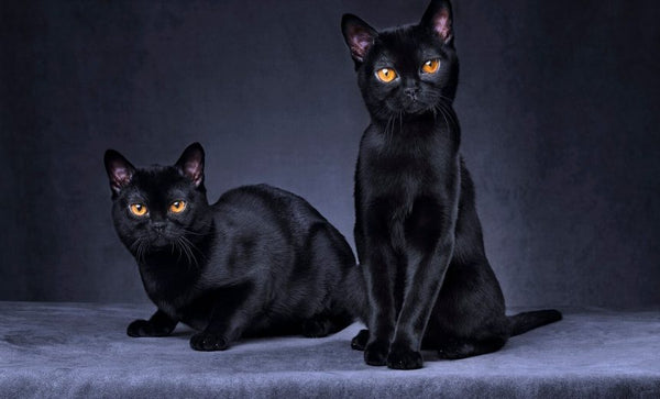 Bombay Black cat