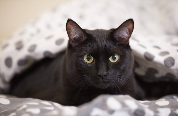 American Bobtail Black cat