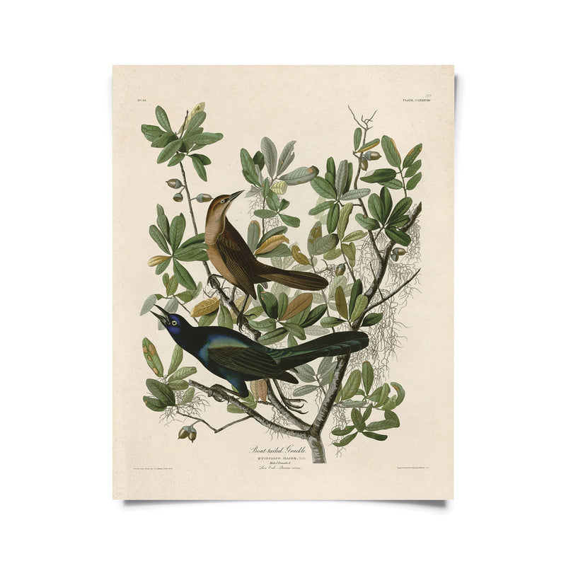 Vintage Natural History Grackle Print in Multiple Sizes