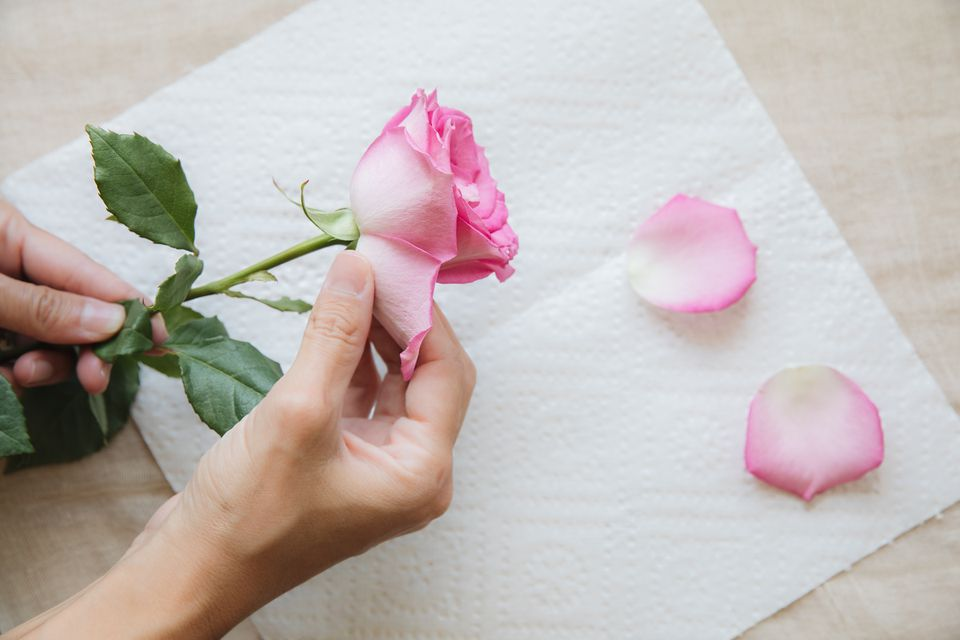 harvesting petals from a rose