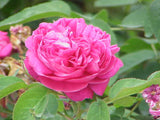 Rose damask eterisk olje