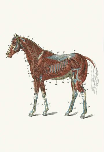 External Muscles & Tendons of the Horse 20x30 poster