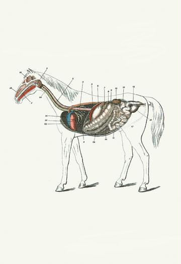 Longitudinal Section of a Horse 20x30 poster