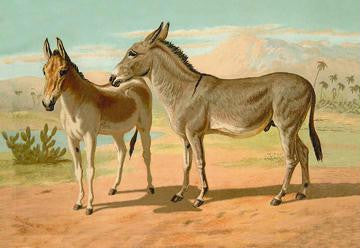Abyssinian Male and Indian Onager Female 20x30 poster
