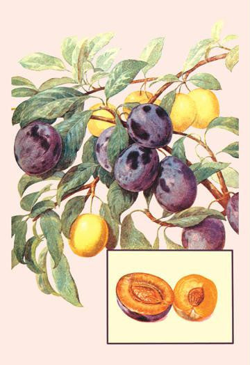 Plums 28x42 Giclee on Canvas