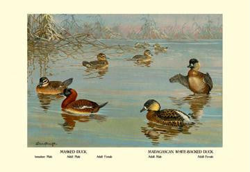 Masked and Madagascan Ducks 28x42 Giclee on Canvas