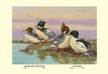 Red-Breasted Merganser and Goosander 28x42 Giclee on Canvas
