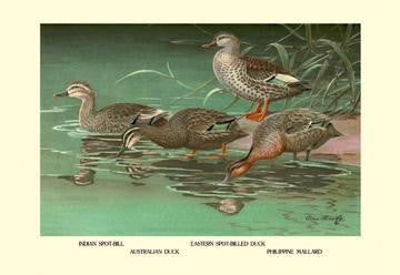 Four Duck Varieties 28x42 Giclee on Canvas