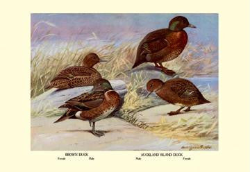 Brown and Auckland Ducks 28x42 Giclee on Canvas