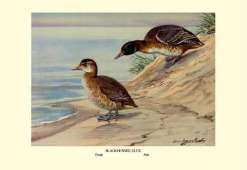 Black-Headed Duck 28x42 Giclee on Canvas