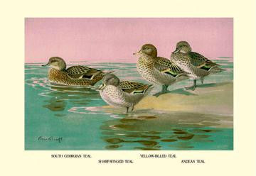 Four Types of Teal Ducks 28x42 Giclee on Canvas