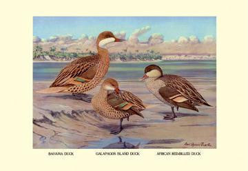 Bahama  Galapagos Island  and African Red-Billed Ducks 28x42 Giclee on Canvas