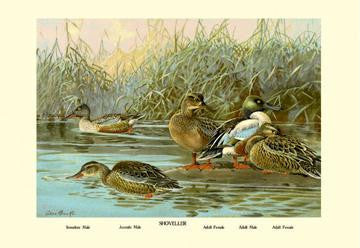 Shoveller Family of Ducks 28x42 Giclee on Canvas