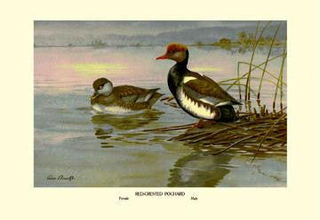 Red-Crested Pochard 28x42 Giclee on Canvas