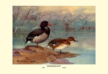 Rosy-Billed Duck 28x42 Giclee on Canvas