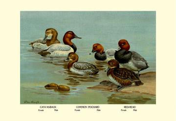 Canvas-Back  Common Pochard and Red-Head Ducks 28x42 Giclee on Canvas