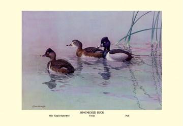 Ring-Necked Duck 28x42 Giclee on Canvas