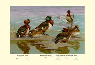 White-Eyed Ducks 28x42 Giclee on Canvas