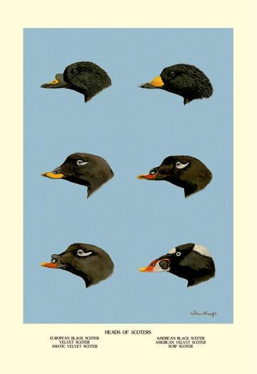 Heads of Scoters 28x42 Giclee on Canvas