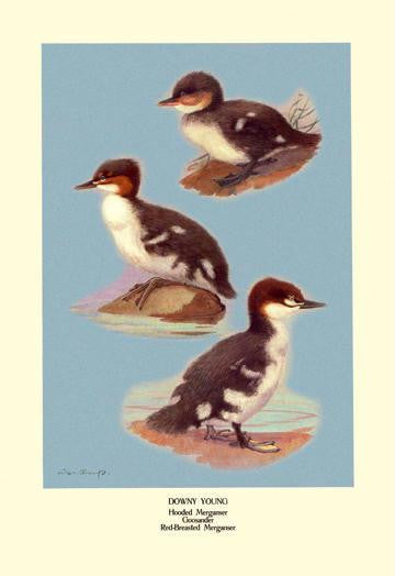 Three Downy Young Ducks 28x42 Giclee on Canvas