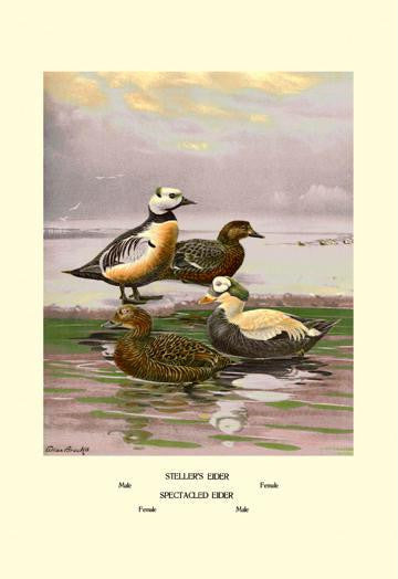 Stellars and Spectacled Eiders 28x42 Giclee on Canvas