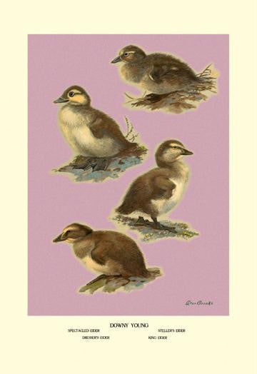 Four Downy Young Ducks 28x42 Giclee on Canvas