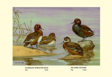 Australian White-Eyed and Southern Pochard Ducks 28x42 Giclee on Canvas