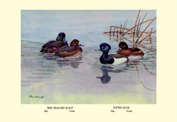 New Zealand Scaup and Tufted Ducks 28x42 Giclee on Canvas