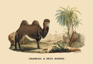 Chameau a Deux Bosses (Camel) 28x42 Giclee on Canvas