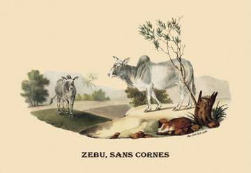Zebu  sans Cornes 28x42 Giclee on Canvas