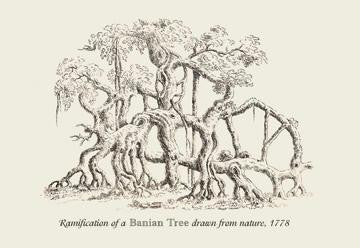 Ramification of a Banian Tree 12x18 Giclee on canvas