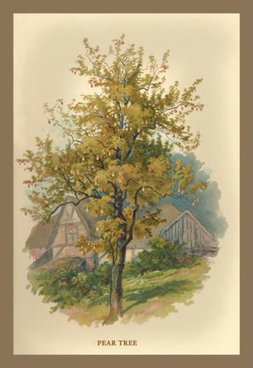 Pear Tree 12x18 Giclee on canvas
