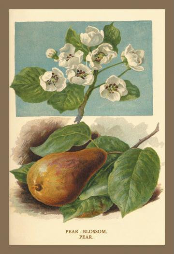 The Pear-Blossom. Pear. 12x18 Giclee on canvas