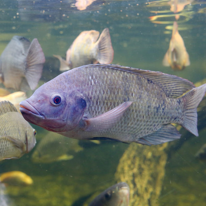 Tilapia: The World's Most Frequently Cultured Fish