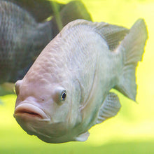 Load image into Gallery viewer, White Nile Tilapia