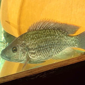 Black Mozambique Tilapia