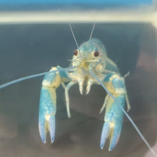 Load image into Gallery viewer, Redclaw Crayfish - Juveniles