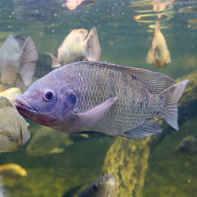 Tilapia Breeding Colony