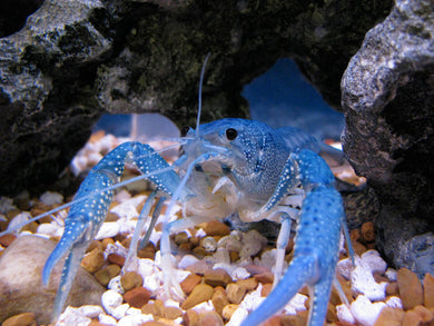 Electric Blue Crayfish - Juveniles