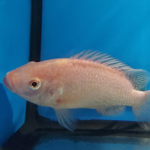 Load image into Gallery viewer, Hawaiian Gold Tilapia