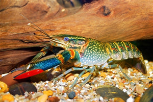 Redclaw Crayfish - Adults