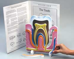 Tooth Anatomy Model
