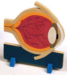 Eye Anatomy Model