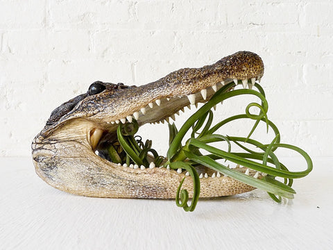 Air Plant Munchie Gator Head