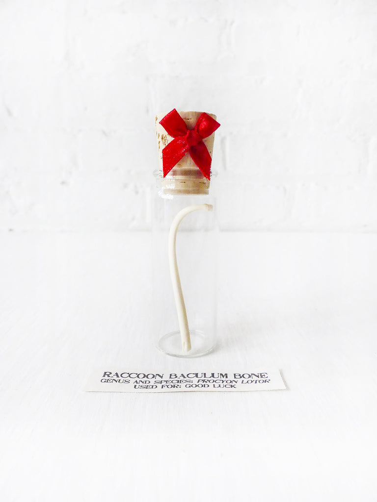 Raccoon Baculum Bone in Cork Vial With Red Bow