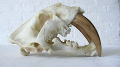 Large Saber Tooth Tiger Skull Airbrushed in 24k Gold