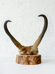 45% SALE 24k Gold Skull Plate of an Antelope Pronghorn on Birch Wood
